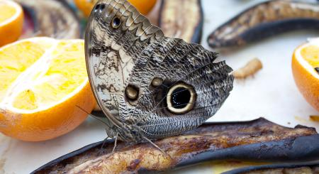 Karmnik dla motyli w Muzeum Historii Naturalnej, Londyn