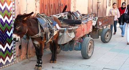 Osiołek zaprzężony do wózka, Marakesz