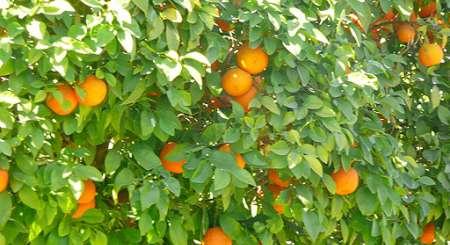 Dojrzałe pomarańcze, Marakesz